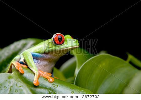 Red-Eyed Tree Frog On Plant