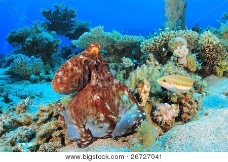 Big Red Octopus (Octopus cyaneus) hunting on a coral reef in the Red Sea
