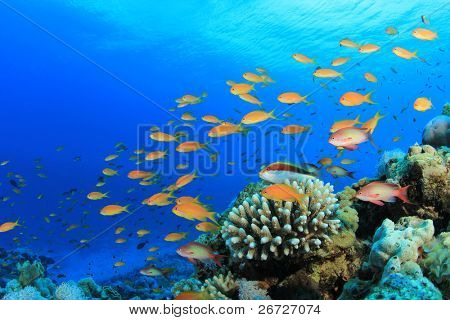 Lyretal Anthias fish and Hawkfish on a Coral Reef in the Red Sea