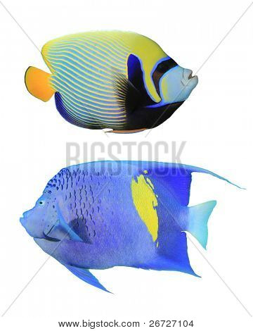 Tropical Fish (pez ángel): Emperador pez ángel (Pomacanthus imperator)(top) y Yellowbar Angelfish (p)
