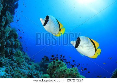 Pair of Lined Butterflyfish (Chaetodon lineolatus)