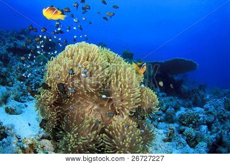 Anemones with Clownfish and Damselfishes on Coral Reef