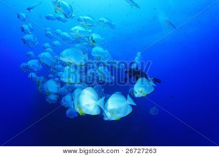 Underwater Photographer scuba dives through a school of Longfin Spadefish (Platax teira) in the Red Sea, Egypt