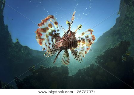 Lionfish with Sunburst