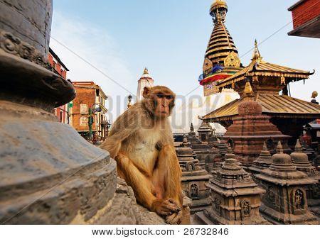 Sentado mono en swayambhunath stupa en Kathmandu, Nepal
