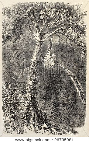 Antique illustration of Quetzal in the nest. Original, from drawing of De Pontelli, was published on L'Illustration, Journal Universel, Paris, 1860