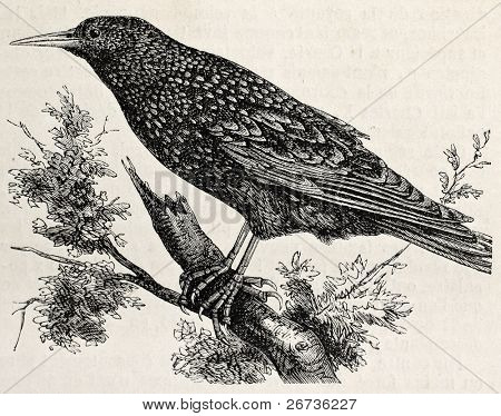 Antique illustration of a starling. Original, from drawing of Lallemand, was published on L'Illustration Journal Universel, Paris, 1860