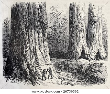 Antique illustration of men working to felling sequoia for Union Pacific railroad passage. Created by Blanchard and Cosson-Smeeton, published on L'Illustration, Journal Universel, Paris, 1868