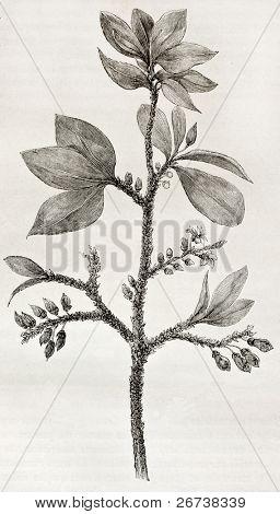 Old illustration of Erythroxylon coca, the plant containing Cocaine alcaloid. Created by Riou, published on Le Tour du Monde, Paris, 1864