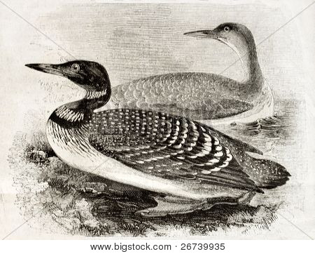 Old naturalistic illustration of Great Northern Loon (Gavia imber). By unidentified author, published on Magasin Pittoresque, Paris, 1850