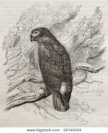 Old illustration of a Grey parrot (Psittacus erithacus). Created by Kretschmer, published on Merveilles de la Nature, Bailliere et fils, Paris, 1878