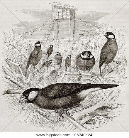 Old illustration of Java Sparrow (Padda oryzivora). Created by Kretschmer and Schmid, published on Merveilles de la Nature, Bailliere et fils, Paris, 1878