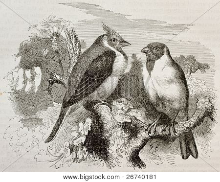 Old illustration of Red-cowled Cardianal (Paroaria dominicana). Created by Kretschmer and Schmid, published on Merveilles de la Nature, Bailliere et fils, Paris, 1878