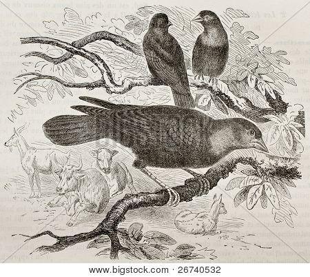 Old illustration of Brown-headed Cowbird (Molothrus ater). Created by Kretschmer and Jahrmargt, published on Merveilles de la Nature, Bailliere et fils, Paris, 1878