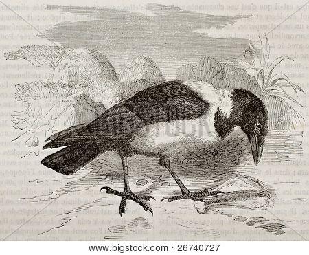 Old illustration of Pied Crow (Corvus albus). Created by Kretschmer, published on Merveilles de la Nature, Bailliere et fils, Paris, 1878