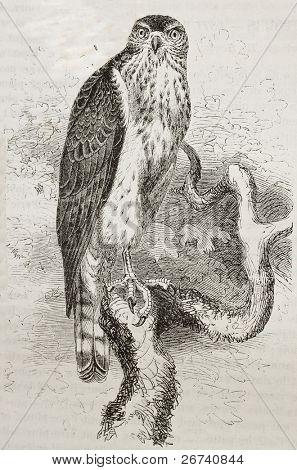 Old illustration of Northern Goshawk (Accipiter gentilis). Created by Kretschmer and Schmid, published on Merveilles de la Nature, Bailliere et fils, Paris, 1878