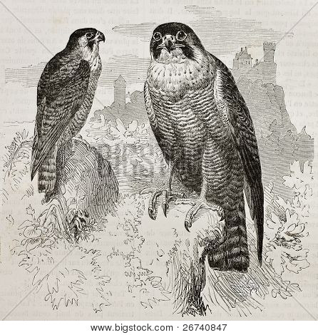 Old illustration of Peregrine Falcon (Falco peregrinus). Created by Kretschmer, published on Merveilles de la Nature, Bailliere et fils, Paris, 1878