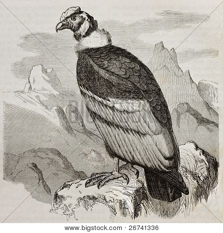 Old illustration of Andean Condor (Vultur gryphus). Created by Kretschmer and Jahrmargt, published on Merveilles de la Nature, Bailliere et fils, Paris, 1878