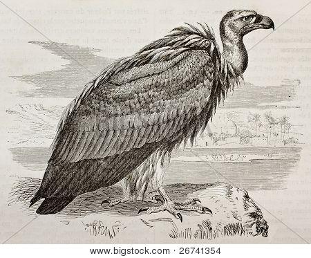 Old illustration of Griffon Vulture (Gyps fulvus). Created by Kretschmer, published on Merveilles de la Nature, Bailliere et fils, Paris, 1878