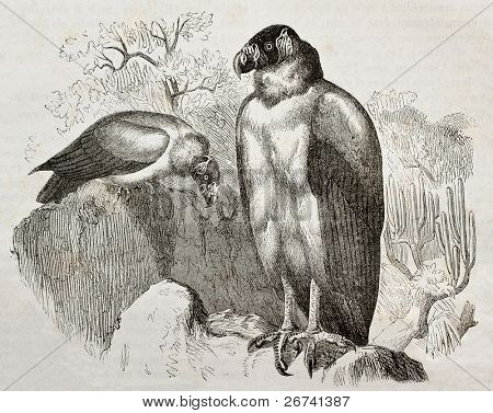 Old illustration of California Condor (Gymnogyps californianus). Created by Kretschmer and Jahrmargt, published on Merveilles de la Nature, Bailliere et fils, Paris, 1878