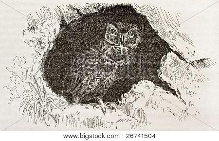 Little Owl old illustration (Athene noctua). Created by Kretschmer and Wendt, published on Merveilles de la Nature, Bailliere et fils, Paris, 1878