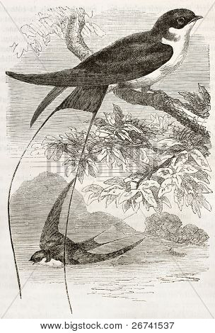 Wire-tailed Swallow old illustration (Hirundo smithii). Created by Kretschmer, published on Merveilles de la Nature, Bailliere et fils, Paris, 1878