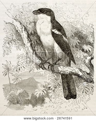 Tropical Boubou old illustration (Laniarius aethiopicus). Created by Kretschmer and Schimid, published on Merveilles de la Nature, Bailliere et fils, Paris, 1878