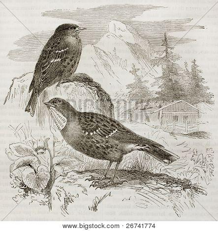 Alpine Accentor old illustration (Prunella collaris). Created by Kretschmer, published on Merveilles de la Nature, Bailliere et fils, Paris, 1878