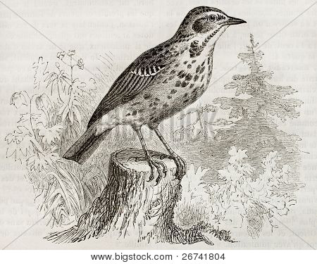 Tree Pipit old illustration (Anthus trivialis). Created by Kretschmer, published on Merveilles de la Nature, Bailliere et fils, Paris, 1878