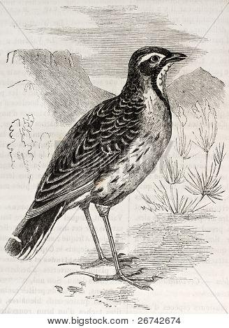 Cape Longclaw old illustration (Macronyx capensis). Created by Kretschmer, published on Merveilles de la Nature, Bailliere et fils, Paris, 1878