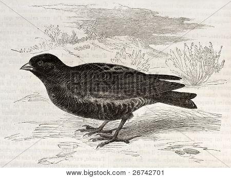 Oude illustratie zwarte leeuwerik (Melanocorypha yeltoniensis). Gemaakt door Kretschmer, gepubliceerd op Mervei