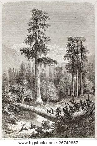 Giant Sequoia old illustration (Sequoiadendron giganteum). Created by Lancelot, published on Le Tour du Monde, Paris, 1860