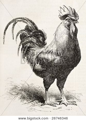 Dorking chicken old illustration. Created by Jacque and Lavieille, published on L'Illustration, Journal Universel, Paris, 1858