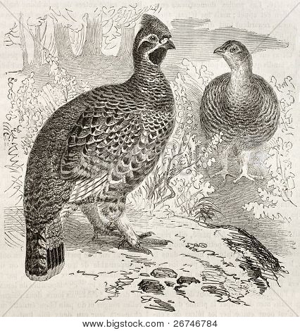 Hazel Grouse old illustration (Tetrastes bonasia). Created by Kretschmer and Illner, published on Merveilles de la Nature, Bailliere et fils, Paris, ca. 1878
