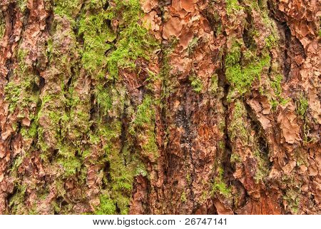 Douglas fir bark texture background.