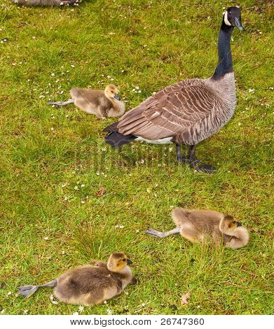 Canada goose with three young goslings resting on grass.