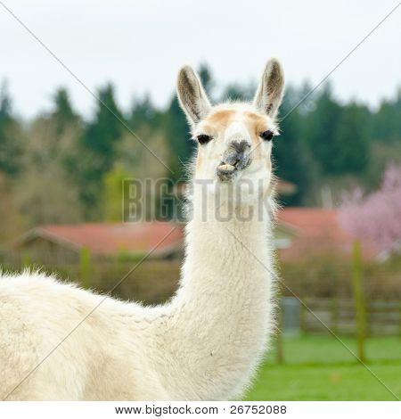 Portrait of a lama on farm.