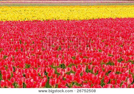 Field of tulips at Skagit, Washington State, America.