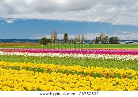 Bereich der Tulpen am Skagit, US-Bundesstaat Washington, USA.