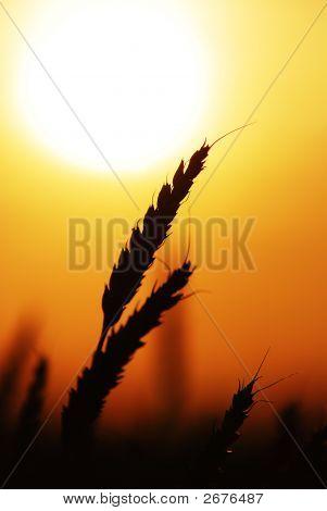 Wheat 075