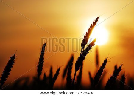 Wheat Grains In The Sun