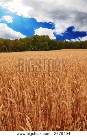 Wheat Blue Sky