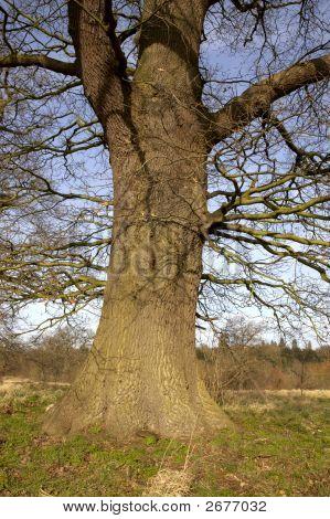 Oak Tree Trunk