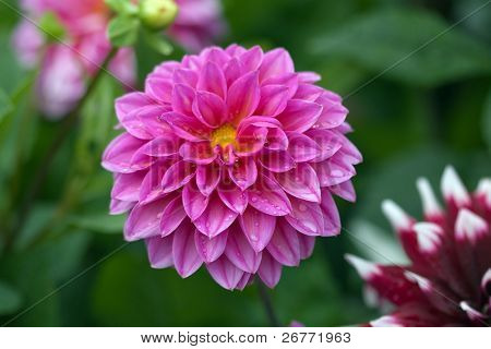 Pink dahlia with rain drops