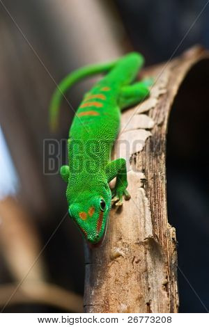 Green Madagascar gecko on a tree