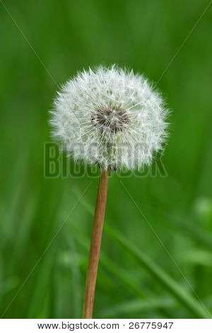 Dandelion closeup (narrow depth of field)