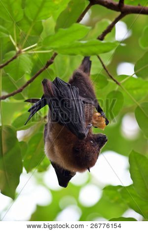 Fruit bat (pteropus giganteus) hanging on the tree