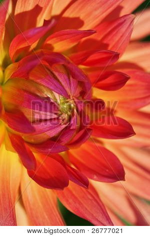 Colorful dahlia flower with morning dew drops