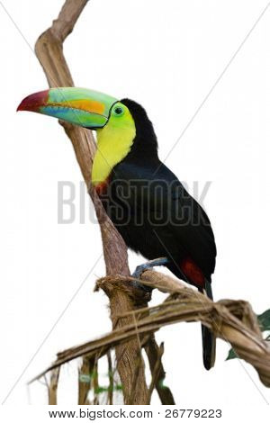 Tucan bird isolated on white