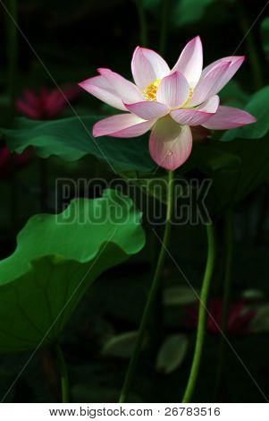 Charming lotus bloom in the pond.